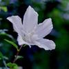 花菜ガーデン【ムクゲ】④20200712