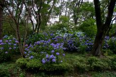 薬師池公園【アジサイの森】20200627