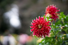 神代植物公園【ダリア:秋田の光】20191020