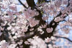小石川後楽園【馬場桜】③20200320