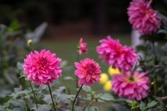 神代植物公園【ダリア:ロイヤルウディング】20191020