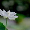 神代植物公園【ハス:白光蓮】20200801