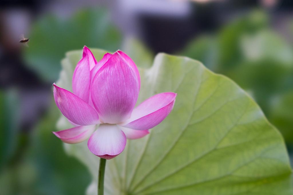 中井蓮池の里【ハスの花】⑥20210723