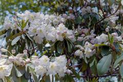 神代植物公園【石楠花:デコルマ】20190503