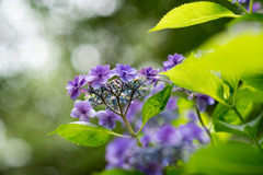相模原北公園【紫陽花:ブルー・スカイ】①20200616
