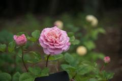谷津バラ園【春バラ:アシュリー】20210515