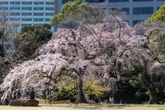 小石川後楽園【小廬山横の枝垂れ桜】20200320