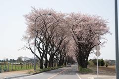 【海軍道路の桜並木】①20180331