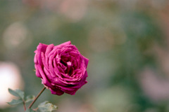 生田緑地ばら苑【秋バラ:ローズ・ド・フランス】20201107銀塩NLP