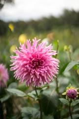 神代植物公園【ダリア:アントノーマ】20191020
