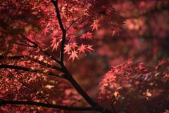 【旧古河庭園の紅葉】⑦20181201