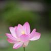 薬師池公園【蓮の花】②20210624