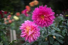 神代植物公園【ダリア:コハラコースト】20191020