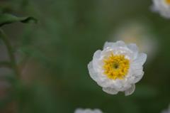 【庭の鉢植(花かんざし)】20160220