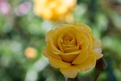 花菜ガーデン【バラ:ストラボ・バビロン】20180506