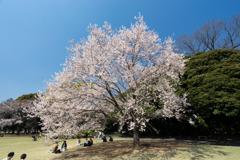 新宿御苑【江戸彼岸】②20200326
