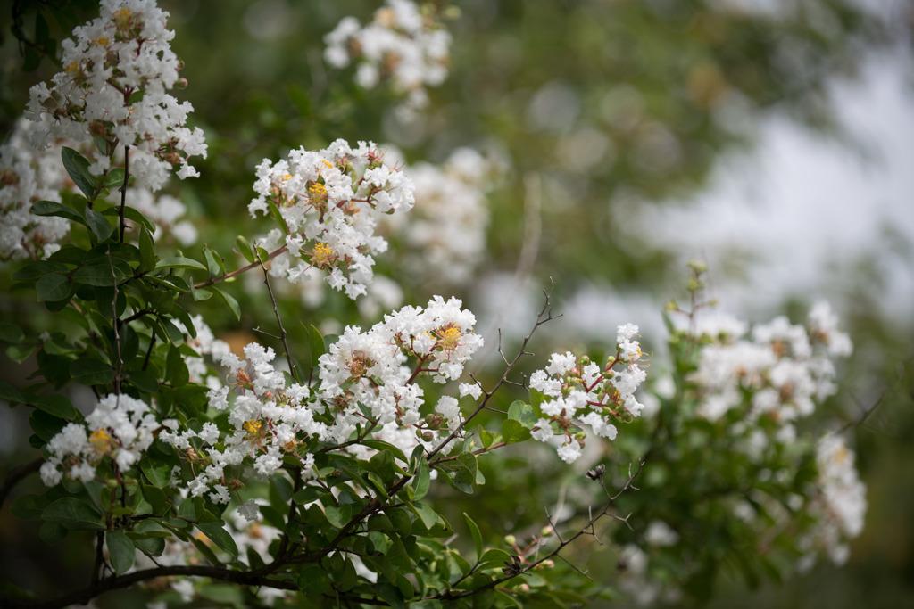 花菜ガーデン【サルスベリ(白系)】①20200913