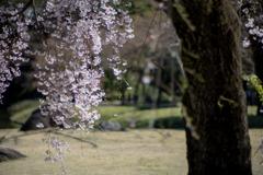 小石川後楽園【馬場桜】④20200320
