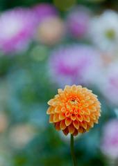 神代植物公園【ダリア:マレ】②20191020
