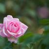 花菜ガーデン【秋バラ:グレース・ドゥ・モナコ】20201012