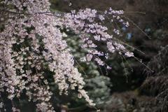 小石川後楽園【馬場桜】⑤20200320