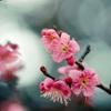 府中市郷土の森【梅の花:佐橋紅】④20210116