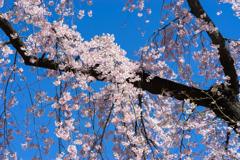 小石川後楽園【馬場桜】②20200320