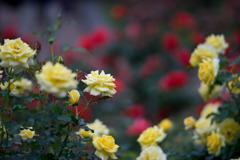 神代植物公園【秋バラ:ゴールド・バニー】②20181014