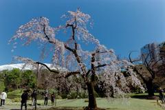 小石川後楽園【馬場桜】①20200320