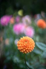 神代植物公園【ダリア:マレ】①20191020