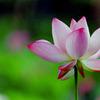 花菜ガーデン【蓮の花】⑤20200712