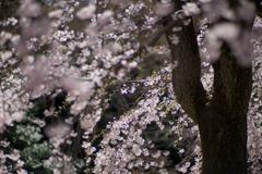 小石川後楽園【馬場桜】⑥20200320