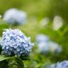 生田緑地【紫陽花】③20210620