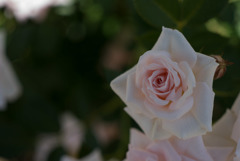 花菜ガーデン【バラ:ドリーム・ラバー】20180506