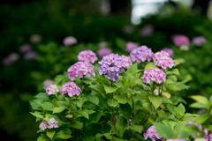 相模原北公園【紫陽花:西洋アジサイ】①20200616