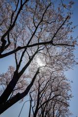【海軍道路の桜並木】⑤20180331