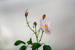 タッチを変えたバラ / 私的花・草木