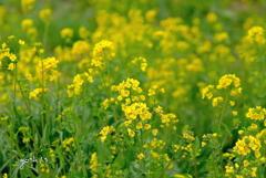 写真掌編:にほひをこせよ23:Yellow, yellow !