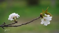 写真歌:山桜追憶3