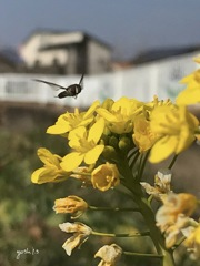 写真エッセイ:菜の花に花虻・プロローグ