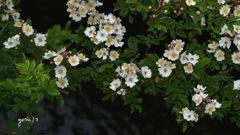 写真歌:野茨の花