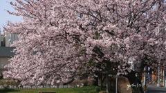 写真エッセイ:街なか公園の桜1