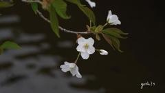 写真句:山桜咲く
