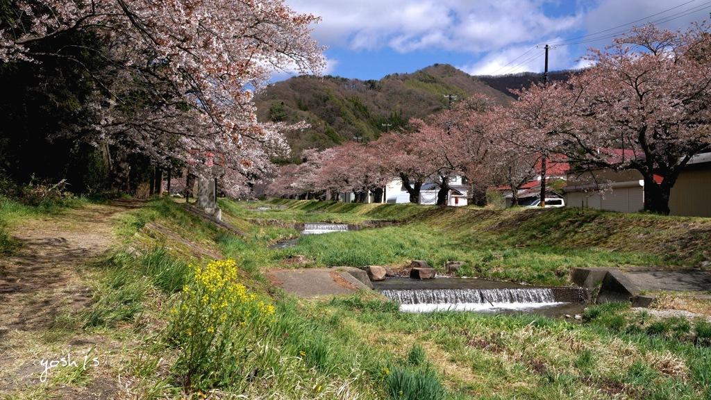 写真エッセイ:観音寺川花堤6