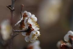 写真句:梅花2:春を告げる