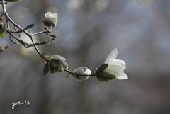 写真エッセイ:こぶし、咲く!