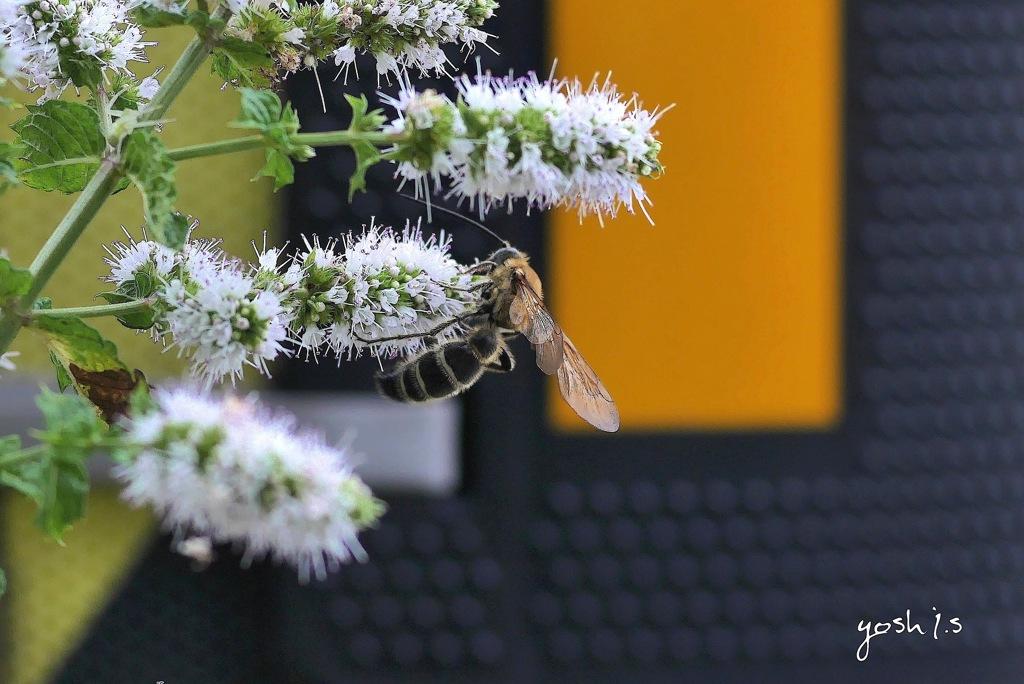 写真句:ミントの花に蜂