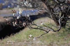 写真句:梅が枝4