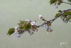 写真エッセイ:行く山桜1:投稿7周年を記念して