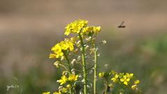 写真一行絵本:菜の花に花虻1